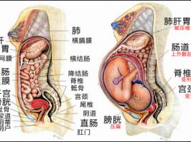 懷孕內臟變化圖
